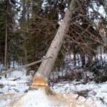 478 Для споруди будинків дерева рубають тільки взимку
