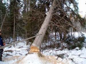 Для споруди будинків дерева рубають тільки взимку
